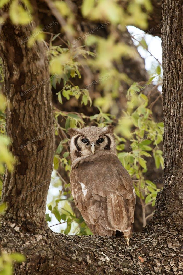 Verreaux's Eagle-Owl - Okavango Delta - Moremi N.P.