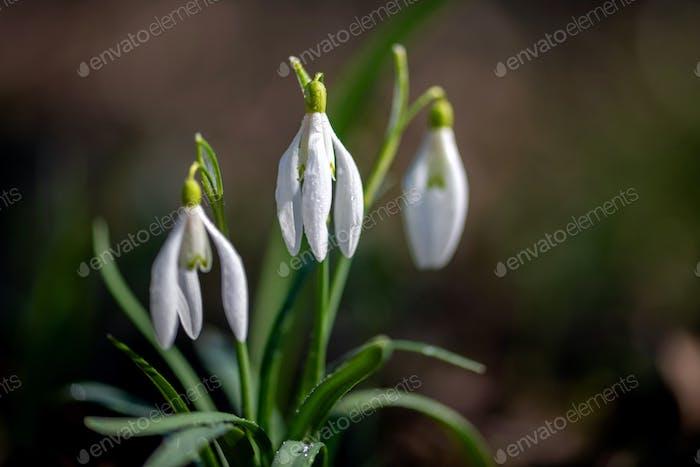 Nahaufnahme von kleinen weißen zarten Schneeglöckchen im Frühjahr