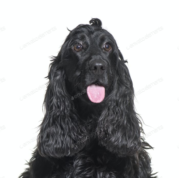 Close-up of a Cocker Spaniel Dog, cut out