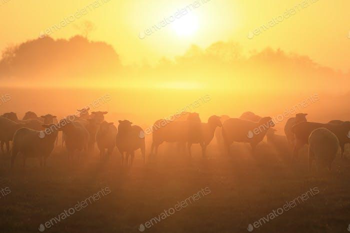 sheep herd on pasture at sunrise
