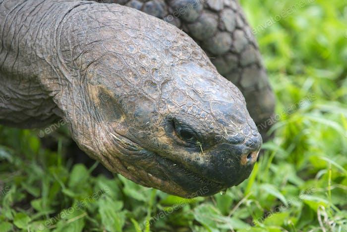 Giant Galapagos land turtle