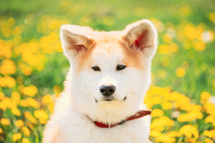 Akita Dog, Akita Inu, Japanese Akita Puppy Sitting In Grass Meadow With Blooming Flowers Outdoor