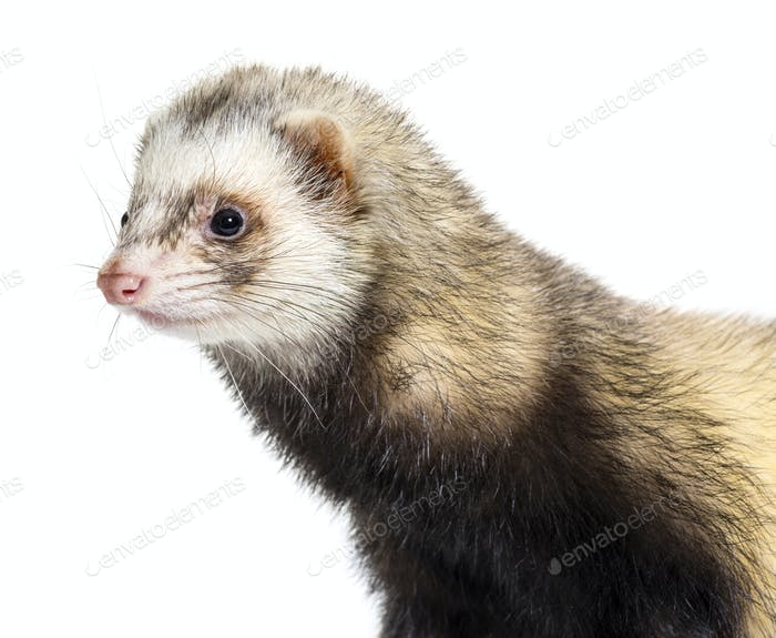 Ferret in front of white background