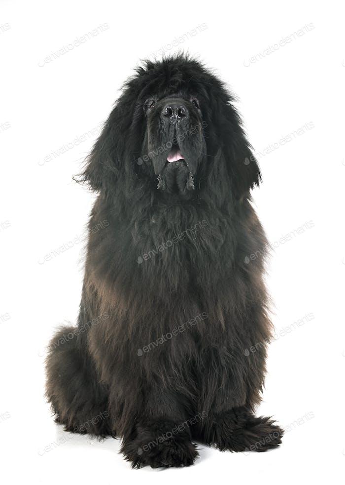 tibetan mastiff in studio