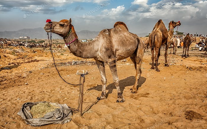 Kamele in Pushkar Mela Kamel Fair, Indi
