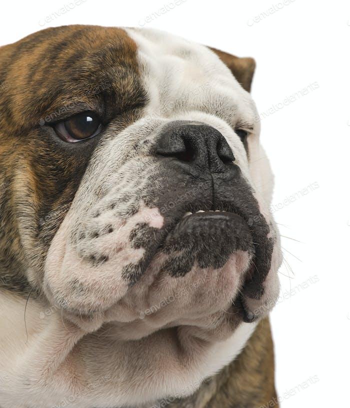 english Bulldog (6 months)
