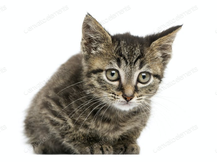Front view of an European shorthair kitten lying, looking at the camera, 2 months old