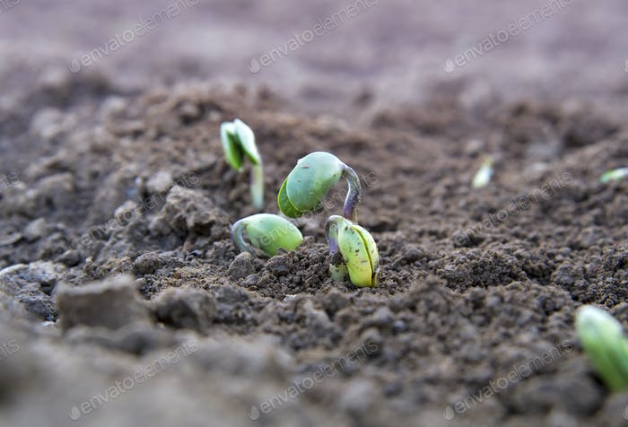 soy plant sprouting