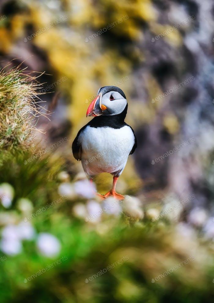 Puffin bird in Westfjord, Iceland