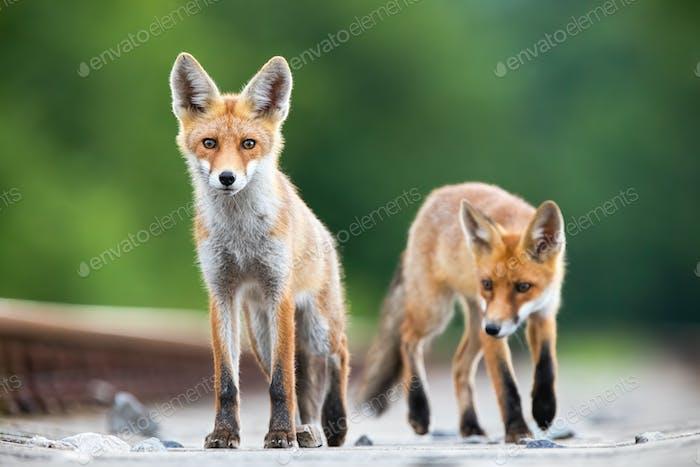 Zwei rote Fuchs Jungen auf einem Eisenbahnschienen suchen überrascht