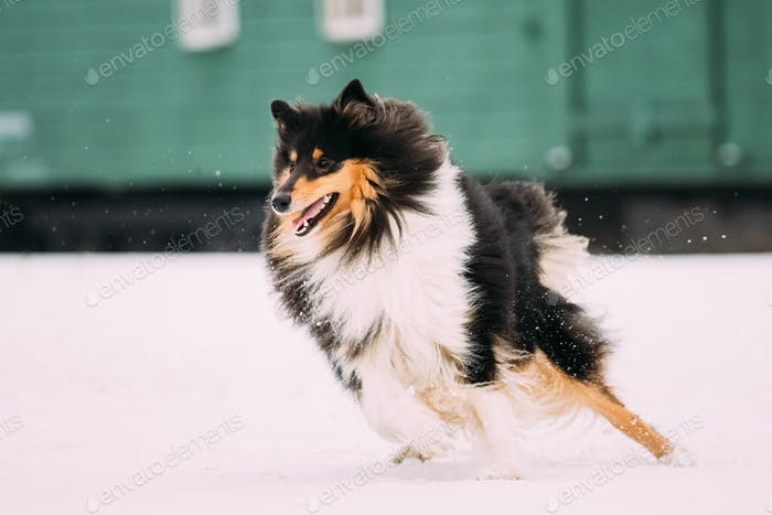 Shetland Sheepdog, Sheltie, Collie Dog Playing With Ring And Fas