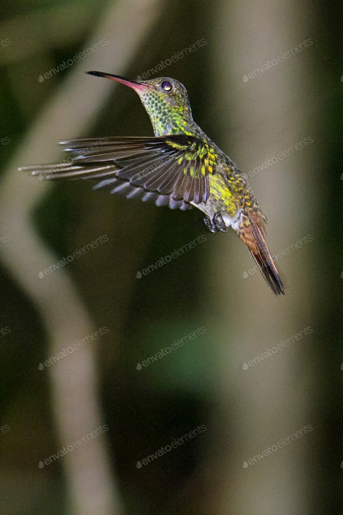 Hummingbird, Tropical Rainforest, Costa Rica
