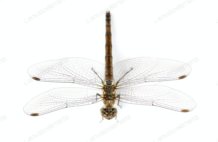Large red damselfly viewed from up high, Pyrrhosoma nymphula, isolated on white
