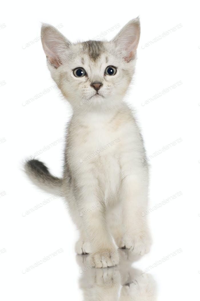 kiten Shorthaired Abyssinian cat