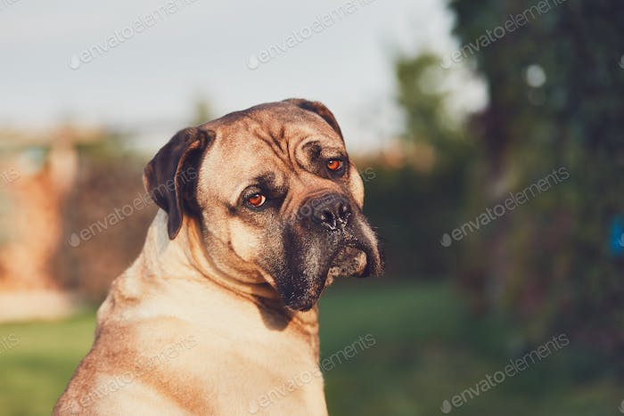 Sad look of the huge dog