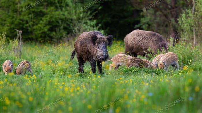 Wild boar herd feeding in nature with dark forest in background