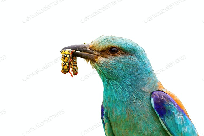 Close-up of european roller holding a colorful maggot in beak isolated on white