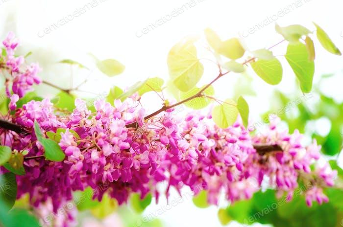 Blühender Judas Baum. Cercis siliquastrum, canadensis, Eastern redbud. Blüte rosa Blüten Zweig in