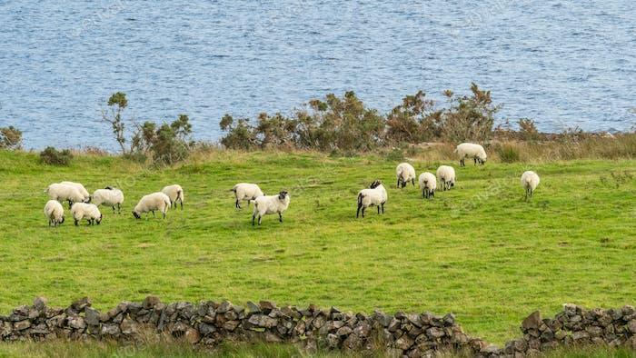 Sheep in Ireland