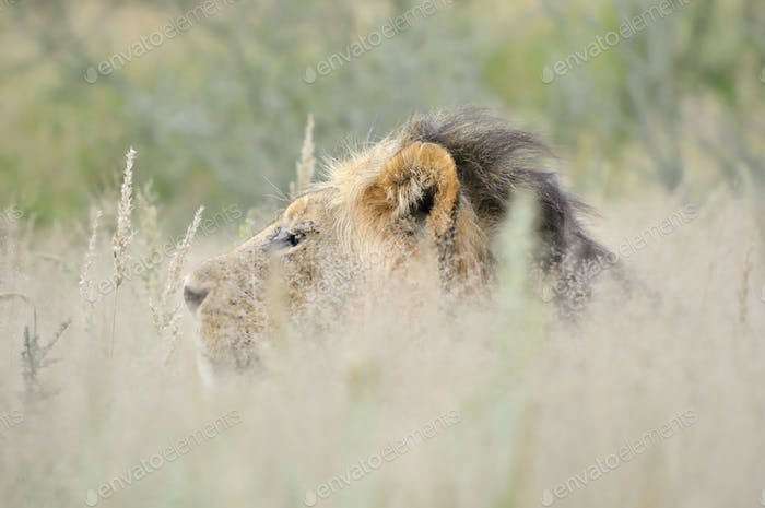 Male lion in the Kalahari 2