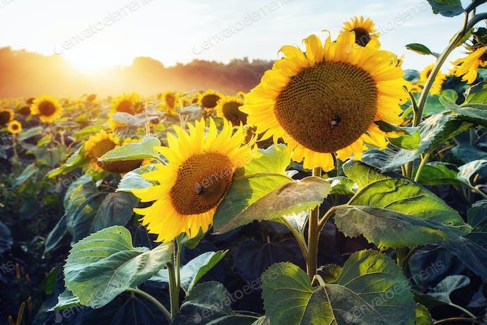 sunflowers through the rays of the sun