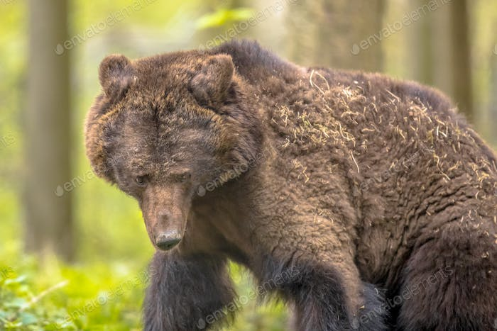 Close up of European brown bear in forest habitat
