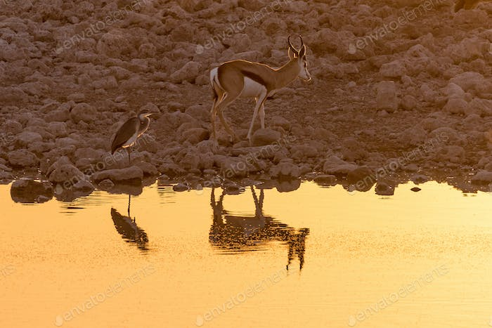 Springbok and grey heron with reflections at sunset at waterhole