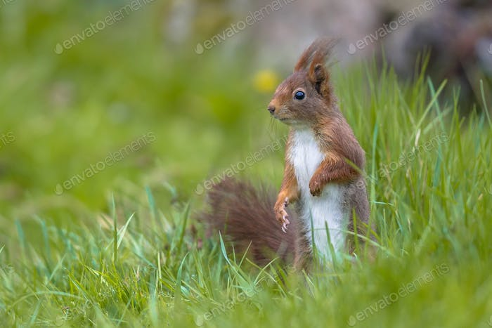 Red squirrel in lawn