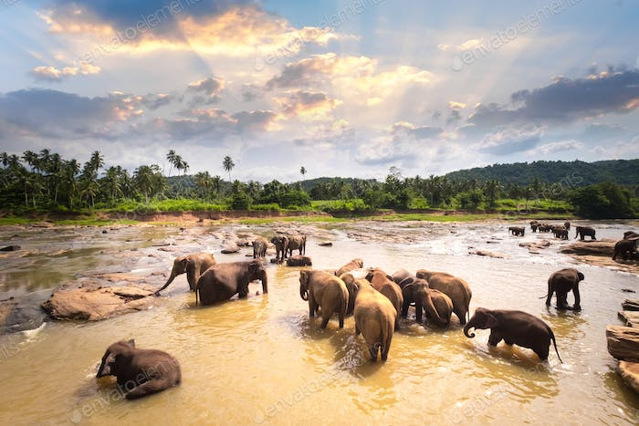 Group of Asian elephants at tropical river. Sri Lanka