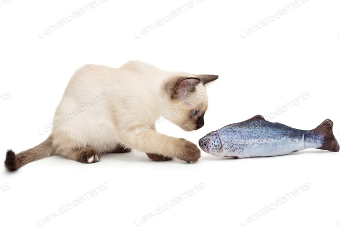 Little Siamese kitten playing with fish