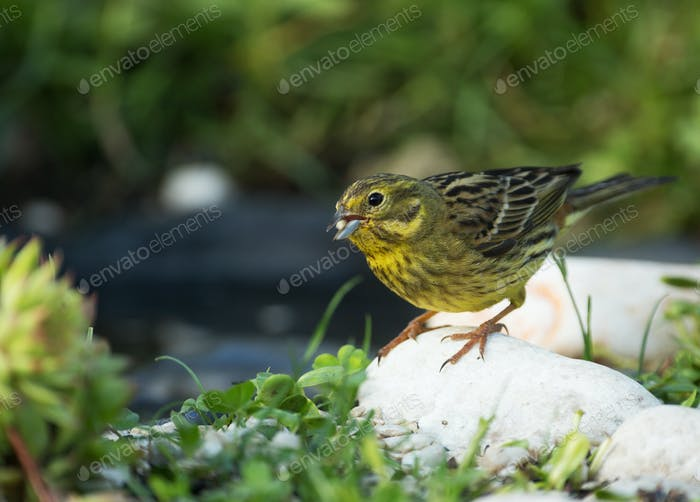 Yellow hammer (Emberiza citrinella) eats sunflower seeds