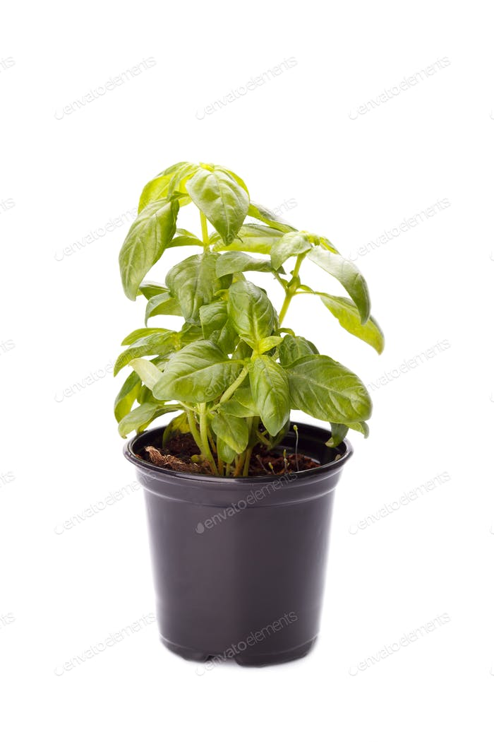 Basil in a small pot