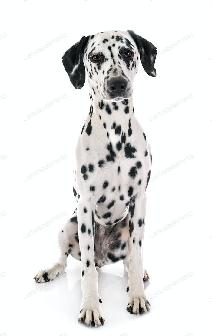 dalmatian in studio