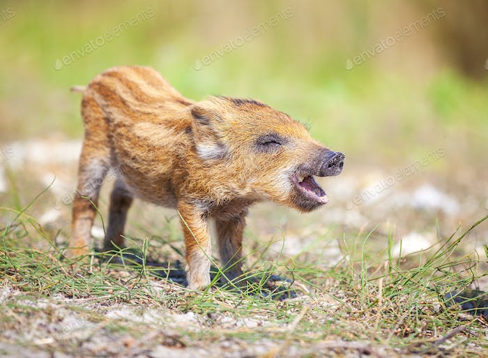 Wild piglet making calls on summer day