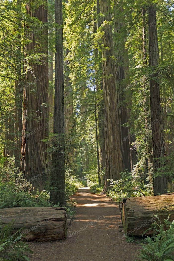 Misty Trail durch die Redwoods