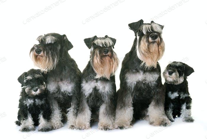 familiy miniature schnauzer