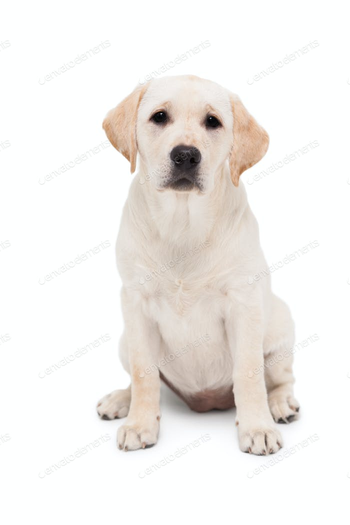 Cute dog sitting alone and looking at camera on white background