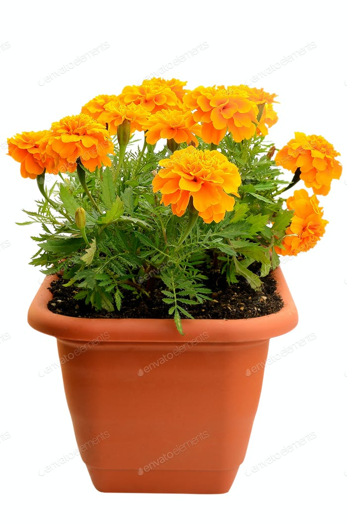 Tagetes flower in balcony flowerpot