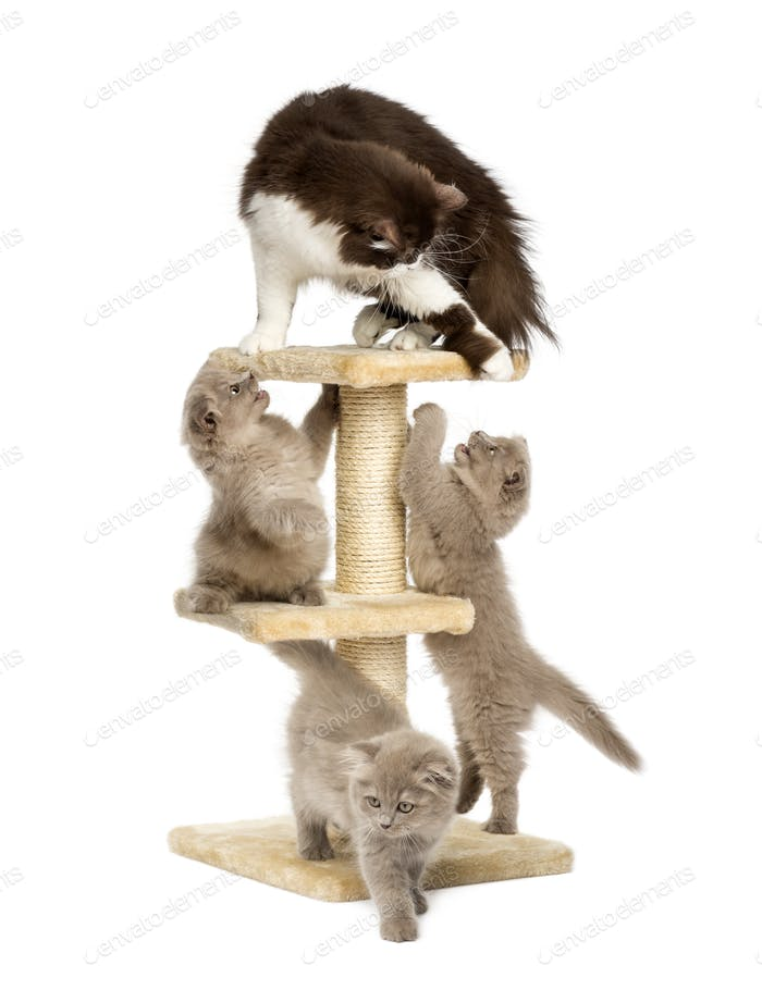 Mother cat playing with her kittens on a cat tree