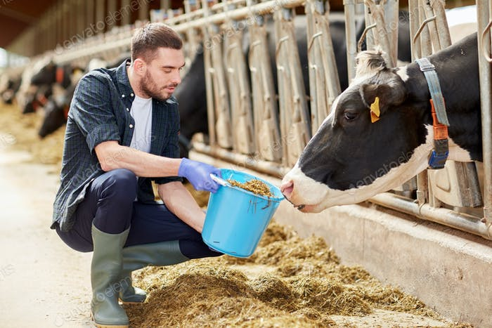 man with cows and bucket in cowshed on dairy farm