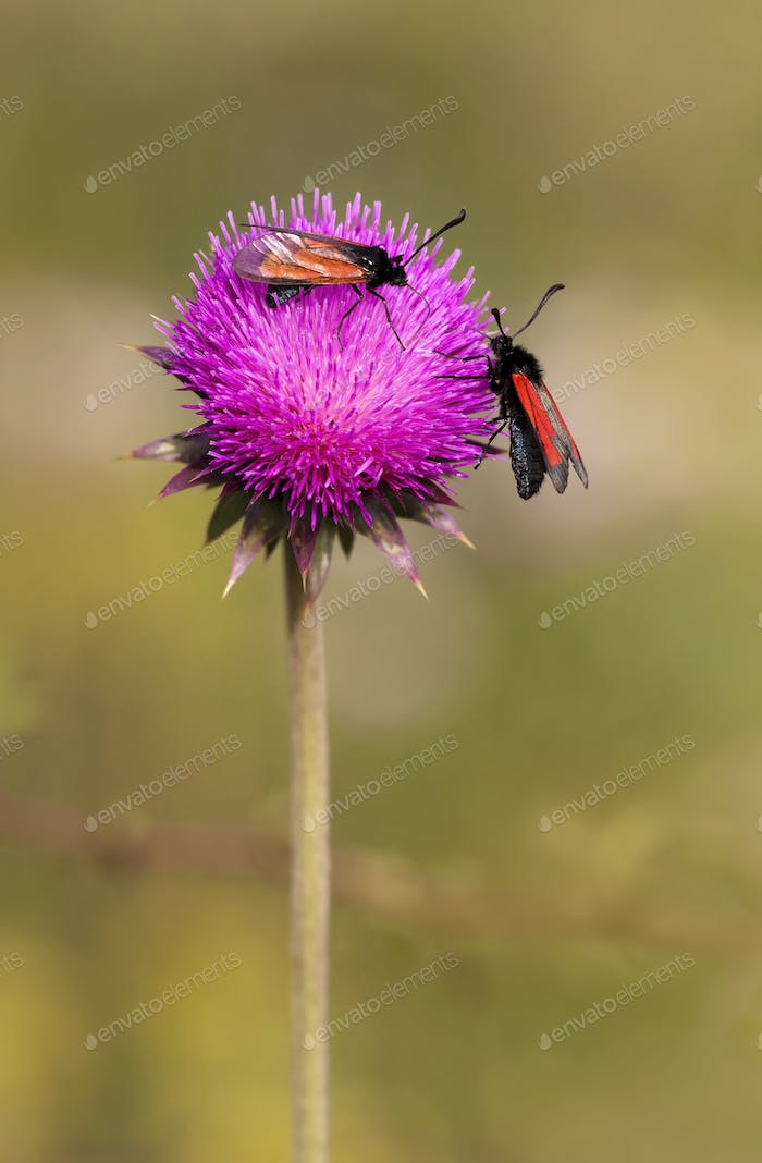 Summer, nature concept - insects on a purple flower