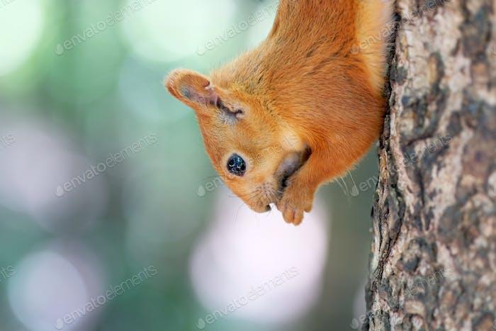 Красная белка на дереве