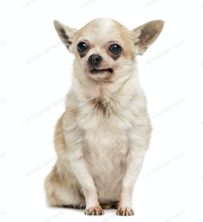 Old Chihuahua with periorbital dark circles, sitting, isolated on white