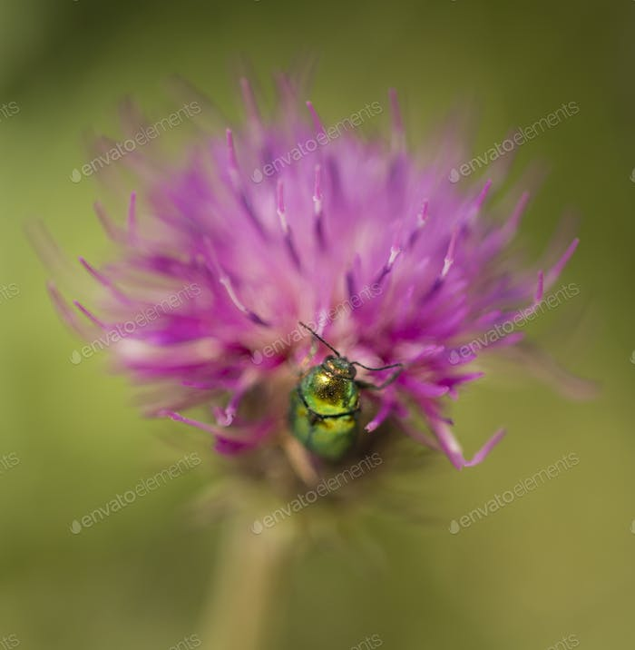 jewel coleopteron insect on pink clover flower