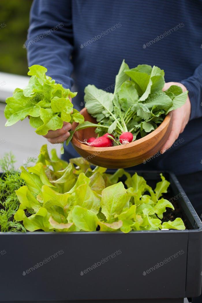 Mann Gärtner pflücken Salat und Rettich aus Gemüsebehälter g