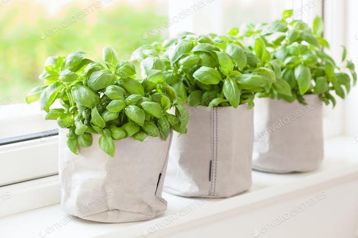 fresh basil herb in flowerpot on window