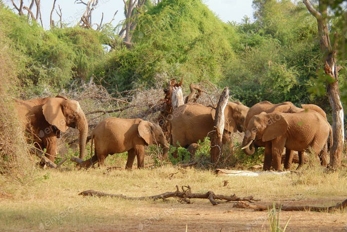 Herd of african elephants eating bush
