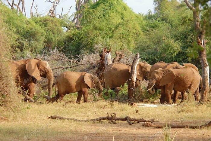 Herd of african elephants eating bush