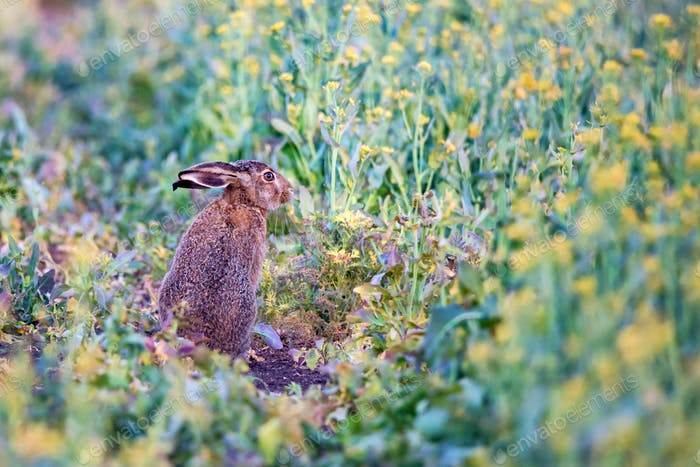 Close up scared European hare or Lepus europaeus in nature