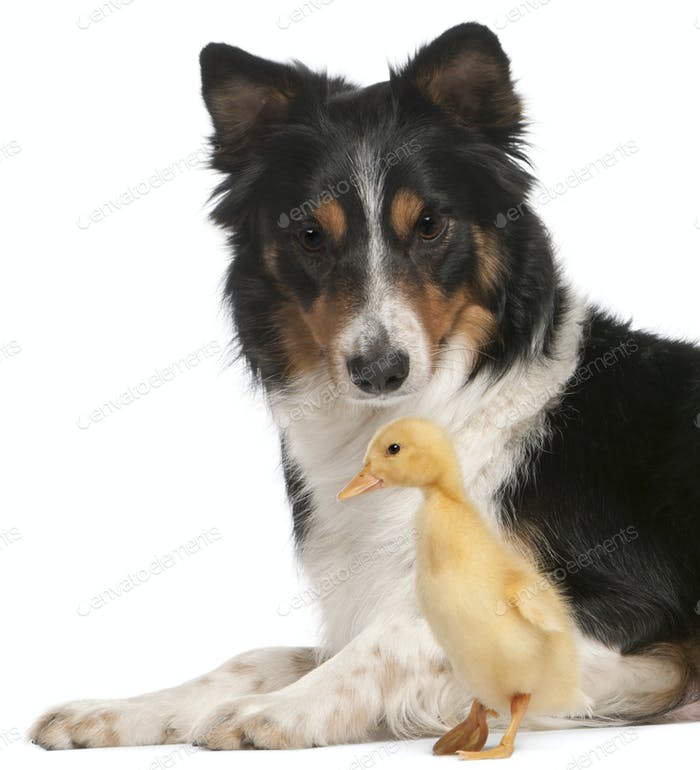 Border Collie playing with duckling, 1 week old, in front of white background